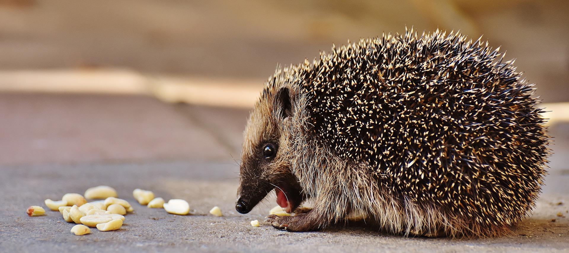 hedgehogchild17636641920(1)